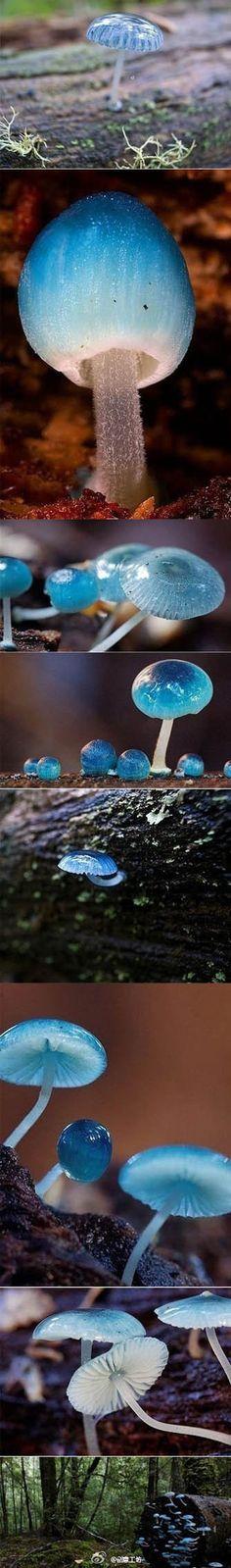 【精灵的梧桐-炫蓝蘑菇】产于澳大利亚塔斯马尼亚岛,它是冈瓦纳植物区系,属于真菌,颜色鲜丽但是并不发光,未成熟幼苗时期时呈现蓝色。它还有个神奇的传说,吃下后眼睛可以变成蓝色。
