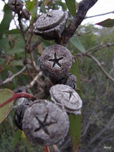 Closeup of the capsule of the dwarf form of Eucalyptus globulus ssp. Trees And Shrubs, Trees To Plant, Garden Trees, Garden Plants, Planting Seeds, Planting Flowers, Eucalyptus Globulus, Seed Pods, Patterns In Nature