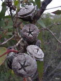 Eucalyptus globulus ssp. globulus - seed caspsules. Australia