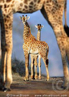 Giraffes framed by the legs of another giraffe, South Africa