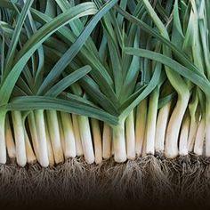 Tips for Growing Leeks - #gardening #leeks #Dan330 http://livedan330.com/2014/11/22/tips-growing-leeks/
