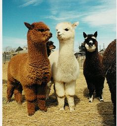 Alpacas! My brother Tim used to work on an alpaca and llama farm...he even went to alpaca and llama shows!