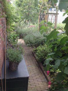 Ook de lavendel doet het heel goed, de blauwe regen voelt zich helaas nietzo thuis op deze schaduwrijke plek