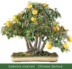 Chinese Quince Bonsai