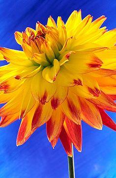 Flowers...Flowers...Flowers... Dahlia