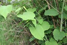 Japanese Knotweed - Polygonum cuspidatum - PNW Plants