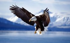 Bald Eagle in Alaska vlucht wallpaper