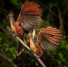 Hoatzin chicks have a special feature of claws on their wings which they use to climb trees while young. The only other known animal with this adaptation is Archaeopteryx - a dinosaur bird.  Hoatzin - National Animal - Guyana