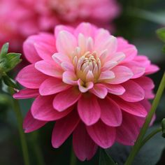 Dahlia 'Rembrandt' (by Apricot Cafe on Flickr)