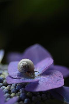 雨上がり Snail on hydrangea