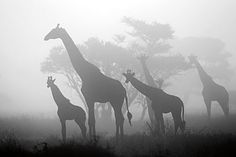 Giraffes in the fog; Serengeti National Park, Tanzania  By Pierluigi Rizzato
