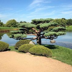 ¡Good morning! Happy #TBT this one is from the Chicago Botanic Garden (2014). I called this tree: Peace! #chicago #beauty #nature #traveler #travelgram #travel #botanicgarden #peace #love #japanisegarden #postoftheday #photography #photoofday #glencoe #beauty #beautifulplace