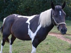 Rosie - Tobiano  Tennessee Walking Mare in Duffield, Virginia 24244