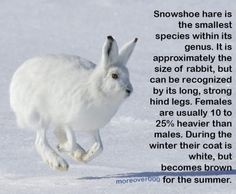Snowshoe hare - the changeable one (Lagomorpha series part Snowshoe Hare, Animal Facts, Science, Animaux, Facts About Animals, Science Comics