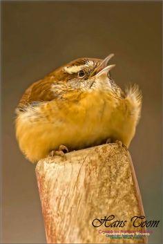 Wrens, Exotic Birds, Wild Things, Wild Birds, Bird Feathers, Beautiful Birds, Animals And Pets, Animal Pictures, Habitats