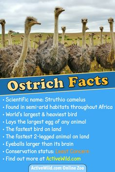 Common Ostrich Facts For Kids & Adults: Pictures, Information & Video. Discover Amazing Facts About The World's Largest Bird - Animals Animal Facts For Kids, Fun Facts About Animals, Elements Of Art Texture, Fastest Bird, Ostrich Bird, Birds For Kids, Bird Facts, Head In The Sand, Ostriches