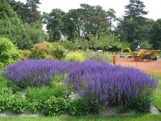Wisley | Flickr - Photo Sharing!  Salvia humming with bees-top of Piet Oudolf Borders