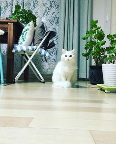 열네살 링고의 미모  #りんごは14才 #ねこ #猫 ##ターキッシュ #アンゴラ #catstagram #Cat #りんごちゃん by 905neko