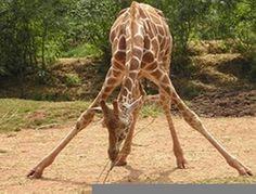 Click here for adorable baby giraffe photos!