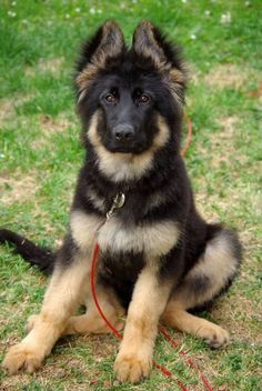 Beautiful German shepherd puppy! Love!!