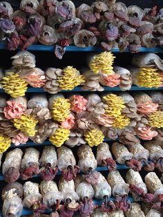 Cultivo de setas exóticas en Malasia