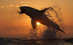 Sundown Jaws A great white shark bursts from the water while hunting for seals off Seal Island, False Bay, South Africa Picture: David Baz J...