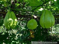 Chayote (ou christophine)