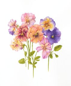 Botanical Illustration by Jan Harbon (6)