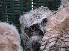 we <3 baby owls! (and grown-up ones too). $10 provides specialized formula for an orphaned wild animal.