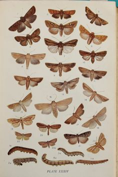 Brown and Grey Moths Wainscot & Others. 1900s by PaperPopinjay, $5.00