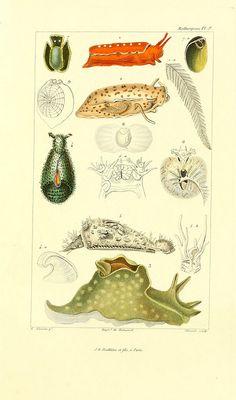 Mollusks book plate illustrations