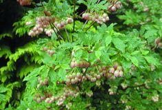 Latin: Enkianthus campanulatus Höjd: Ca 2-3 m Växtsätt: Stramt, upprätt. Blommor: Ljusrosa med röda strimmor i maj. Bladverk: Grönt, röd-orange höstfärg. Läge: Halvskugga-skugga. Väldränerad mullrik fuktighetshållande jord med lågt pH. Användning: Solitär (ensam) med marktäckare eller tillsammans med andra 'surjordsväxter'. Härdighet: Zon 1-3.