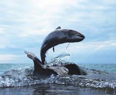 Piers Mason's leaping salmon