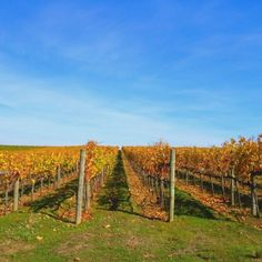 Happy Friday from Autumn in Sonoma Wine Country w/ our vineyard Fall Foliage colors bursting out everywhere