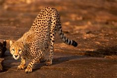 30 Amazing Cheetah Pictures for your Inspiration