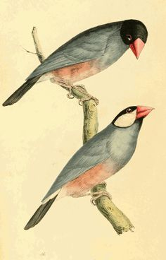 William Swainson - Rice bird, or Java Sparrow, aka Paddy Bird, upper figure female, lower male (Padda oryzivora, or Fringilla oryzivora)