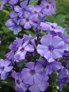 blue paradise phlox. has a vanilla clove aroma... say no more!