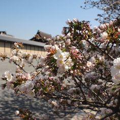 京都御苑 御所御車返 (1) 2011.4.13 /アンジュー フォトギャラリー