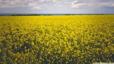 Canola Field HD desktop wallpaper Fullscreen Mobile Dual Monitor