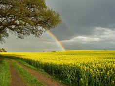 #2 -Rainbow Over a Rape Field, Schleswig Holstein, Germany  Mauritius / SuperStock Rape, (Brassica napus, variety napus), also called rapeseed The esterified form of the rapeseed oil is used as a lubricant for jet engines. The seeds are also used as bird feed; the seed residue is used for fodder. The plant can be grown as a cover crop and green manure.
