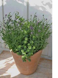 テラコッタは調湿作用がハーブの健康に一役買ってくれます。 イングリッシュラベンダーとオレガノロタンダフォーリア、どちらも花とアロマが楽しめる品種です。