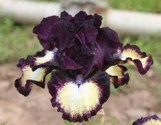 Photo of Intermediate Bearded Iris (Iris 'Spectator') uploaded by KentPfeiffer