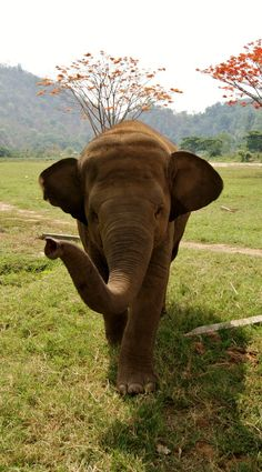 Get up close and personal with rescued elephants at the Elephant Nature Park in Chiang Mai, Thailand Asian Elephant, Elephant Love, Chiang Mai Thailand, National Geographic, Beautiful Creatures, Animals Beautiful, Elephant Nature Park, Elephant Park, Save The Elephants