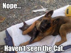 Dogs that are treated properly have the best temperaments and they hold no reservations in showing the love they have received. 5 Ways How To Show Your Dog Love Funny Dog Memes, Funny Animal Memes, Cute Funny Animals, Funny Animal Pictures, Funny Cute, Funny Dogs, Hilarious, German Shepherd Memes, German Shepherd Puppies