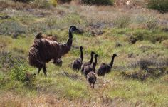Another native to Exmouth and the North West Cape: emus. Here, Dad takes the chicks out for a foraging walk.emu Moms lay and incubate the eggs until they hatch, then Dad takes over and Mom goes off on her merry way. Emu, Peacocks, Western Australia, North West, Ducks, Great Places, Giraffe, Cape, Merry