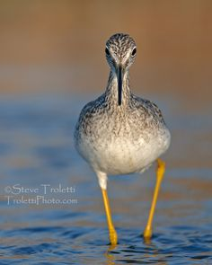 Greater Yellowlegs / Grand Chevalier