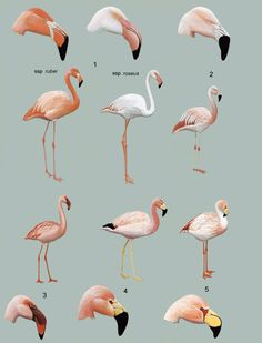 1. Greater Flamingo (Phoenicopterus ruber)  2. Chilean Flamingo(Phoenicopterus chilensis)   3. Lesser Flamingo (Phoeniconaias minor)  4. Andean Flamingo (Phoenicoparrus andinus)  5. Puna Flamingo (Phoenicoparrus jamesi)
