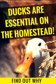 Here are some great reasons to start raising ducks on your small farm. Raising ducks is a great choice and they are fun as well. Backyard Ducks, Chickens Backyard, Backyard Farming, Backyard Poultry, Backyard Ponds, Raising Ducks, Raising Chickens, Keeping Chickens, Best Egg Laying Chickens