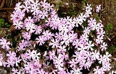Phlox ´Joanis Blood´ Blood, Garden, Plants, Lawn And Garden, Gardens, Plant, Outdoor, Home Landscaping, Tuin