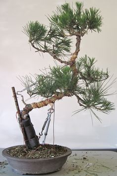 Kusamura Bonsai Club - Making Dramatic Bends in a Pine